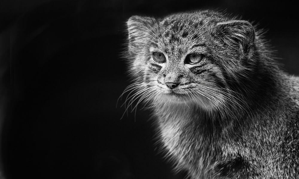 Chat sauvage origines africaines
