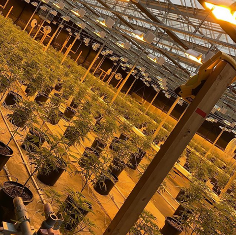 540 Cannabis plants going into flower