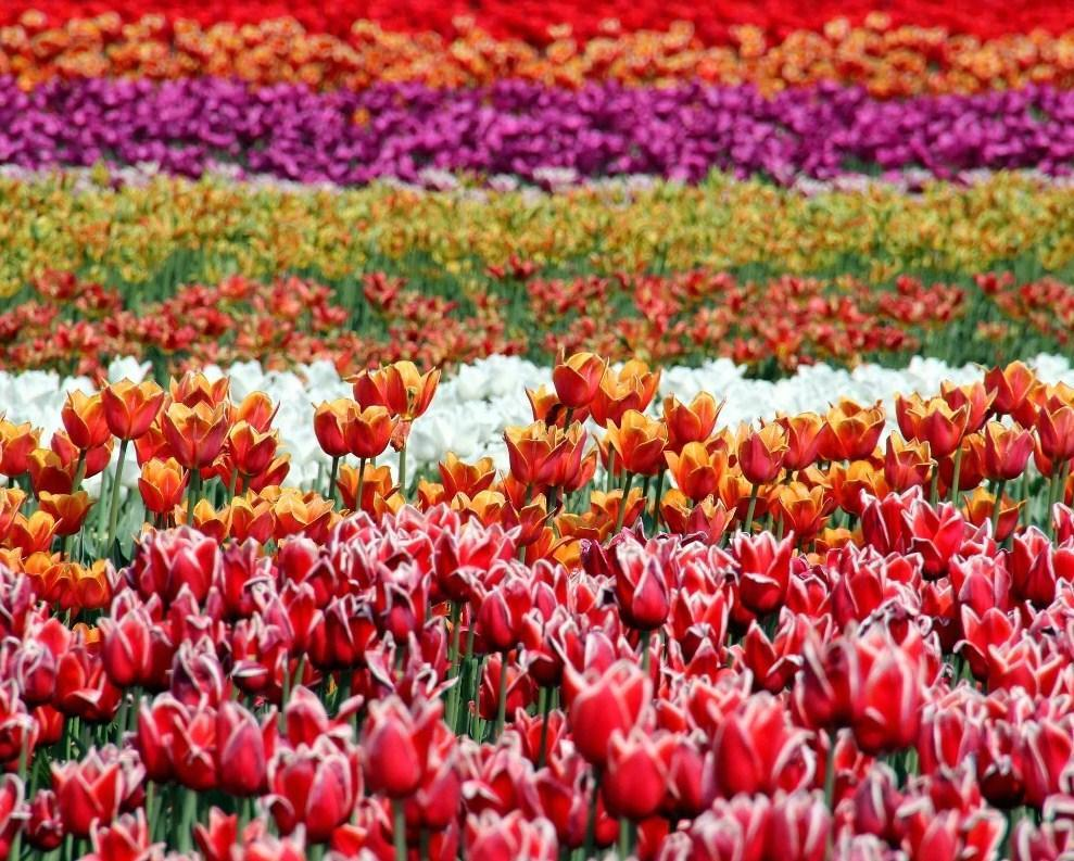 Beds of Tulips - All Paint by numbers