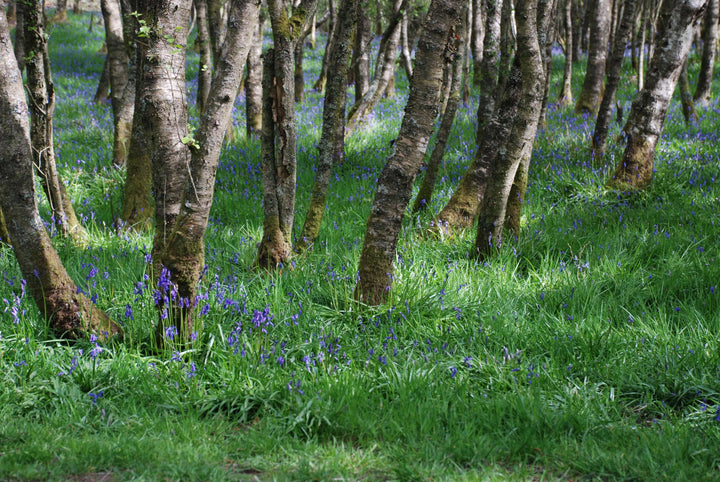 A forest blanketed with green and Bluebells