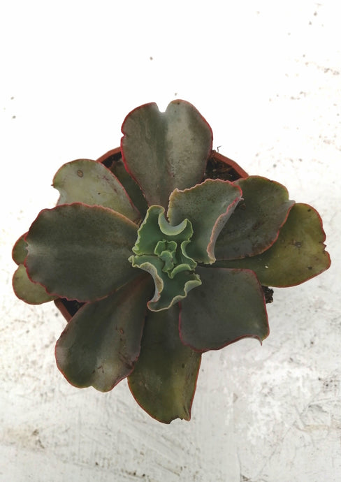 Echeveria Giant Blue