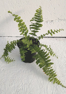Fougère Boston Fern