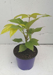 Schefflera - Amate Lemon