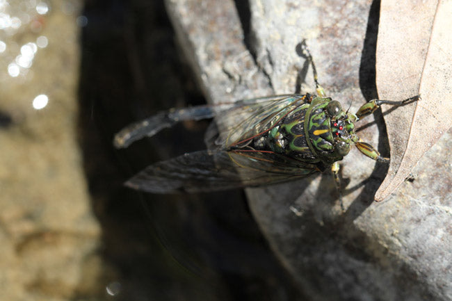 Trout love eating cicada patterns