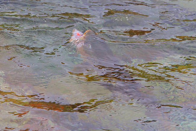 NZ fly fishing guides, brown trout rising to high hi vis dry fly
