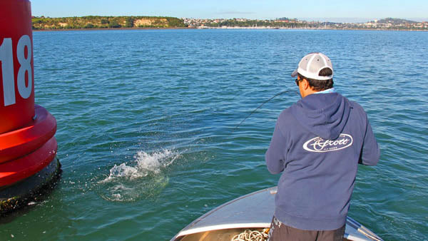 saltwater fly fishing in new zealand, fly fishing for kahawai, snapper, kingfish, best fly fishing spots around auckland