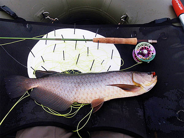 australian saratoga caught fly fishing near Brisbane australia by Tie N Fly Outfitters