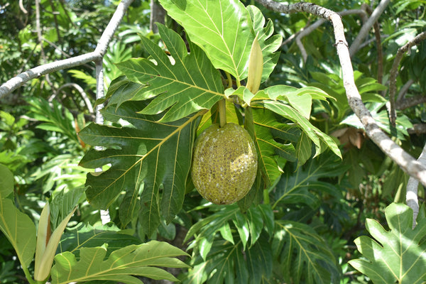 How We Discovered the Healing Benefits of Breadfruit Flower Extract