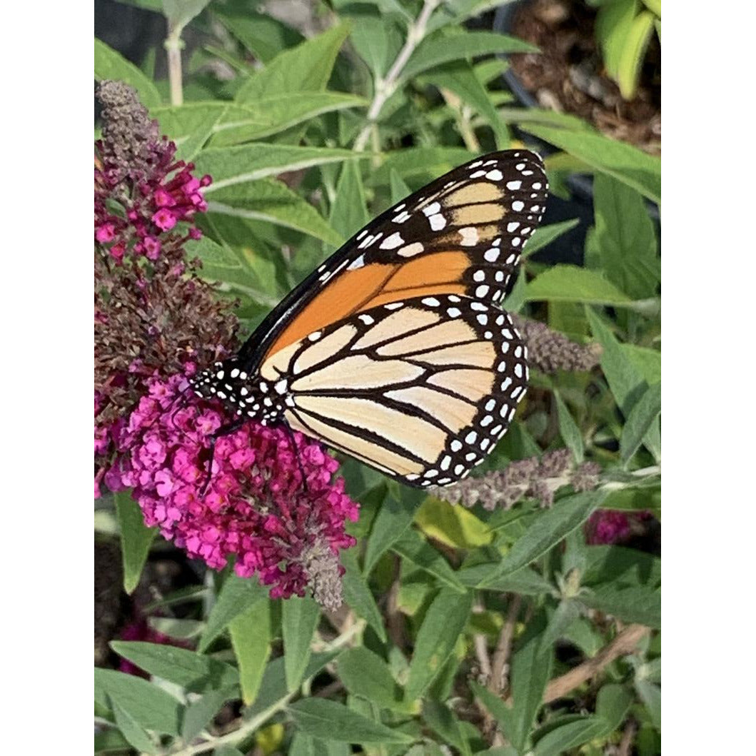 Monarch on a Butterfly Bush, Note Card, Blank Inside