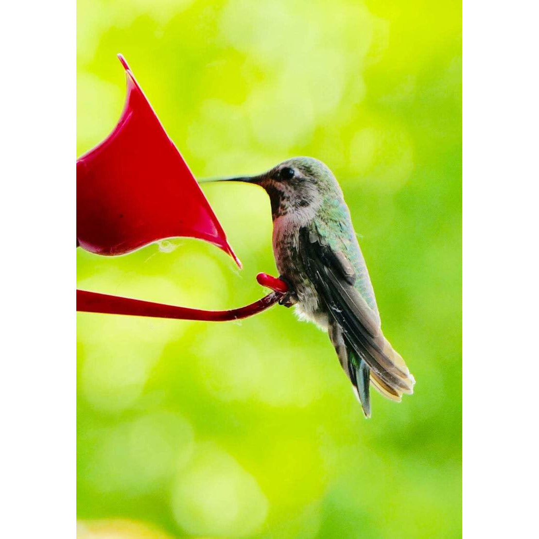 Ruby Throated Humming Bird, Note Card Blank Inside