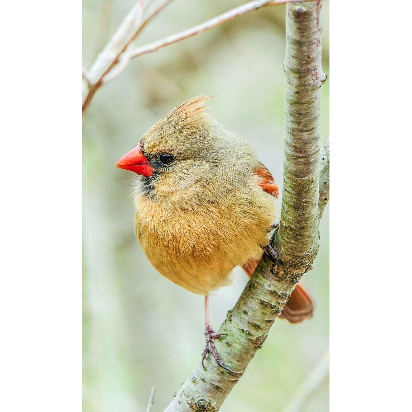 Female Cardinal Vertical Note Card , Blank Inside