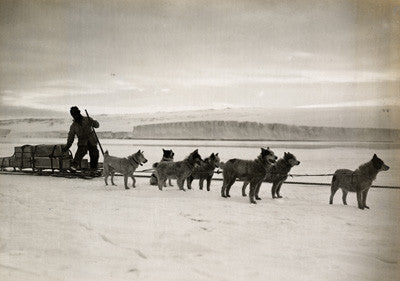 Dr. Atkinson's dog team landing stores from ship