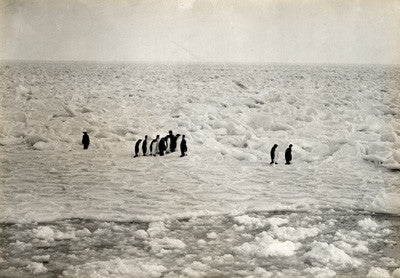 Emperor penguins on the heavy pancake ice