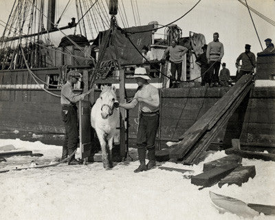 Lieut. Harry Rennick leading one of the ponies on to the sea ice