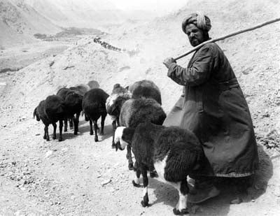 A shepherd on his way down the Panjshir Valley to Kabul with a herd of fat-tailed sheep