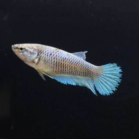 Hembras Crowntail