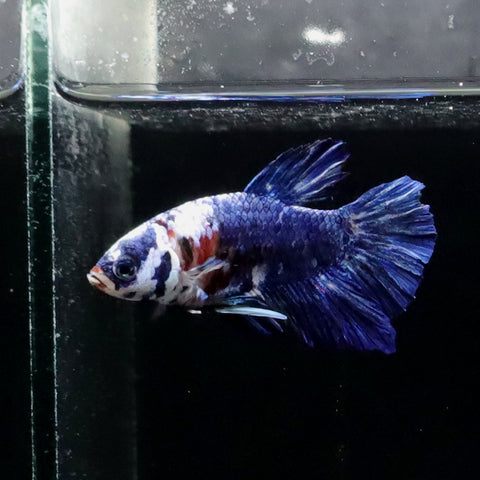 HMPK Blue Fancy, macho II