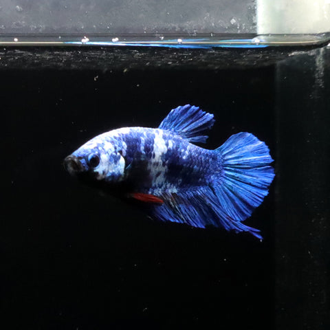 HMPK Fancy Blue, macho #3