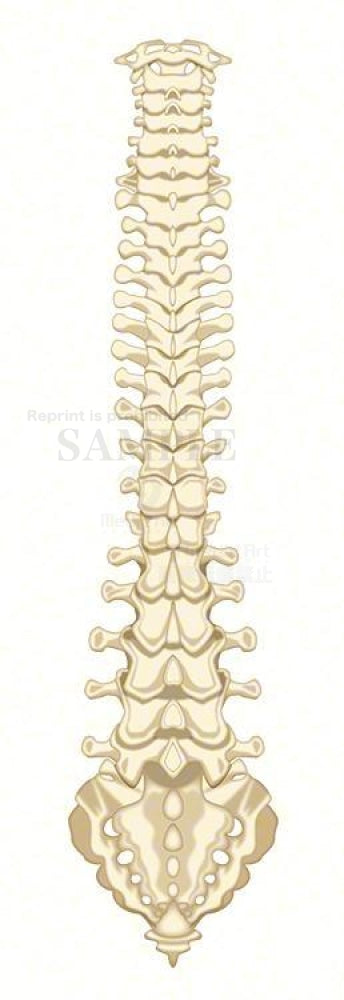 The structure of the vertebral column (back)