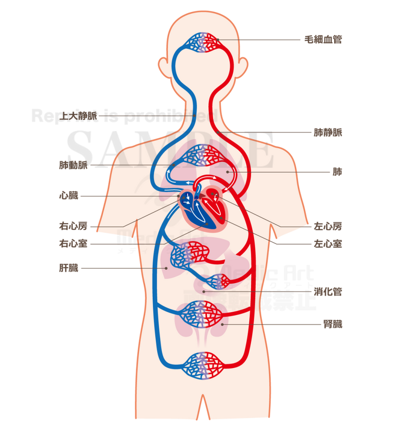 Mechanism of blood circulation[With Japanese characters and silhouette]
