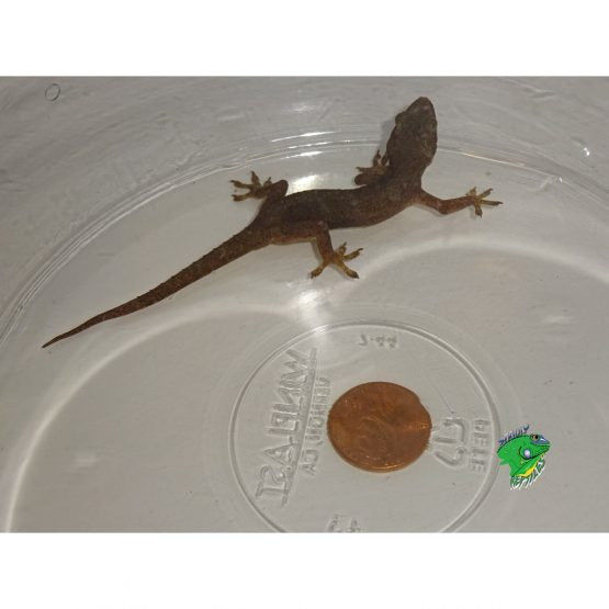 House Gecko – Adults
