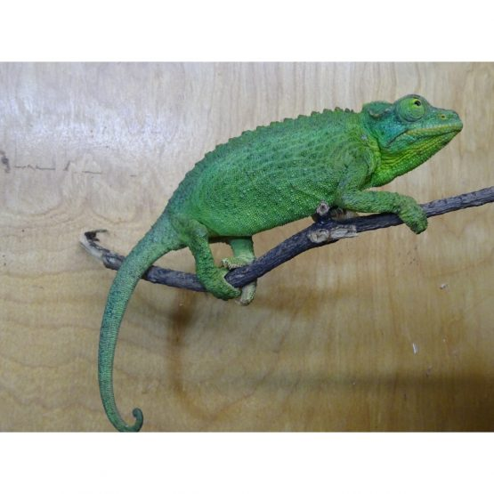 Jackson's Chameleon – adult females