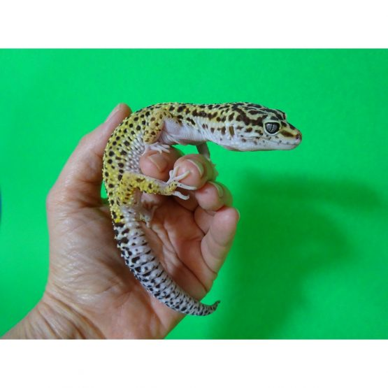 Leopard Gecko – adults