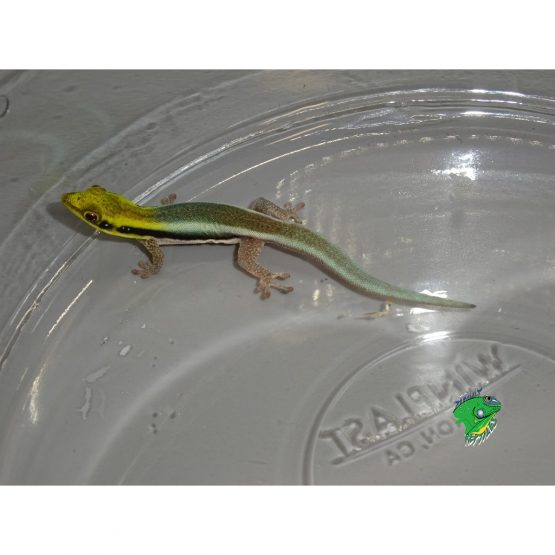 Neon Day Gecko – Juveniles to Adults