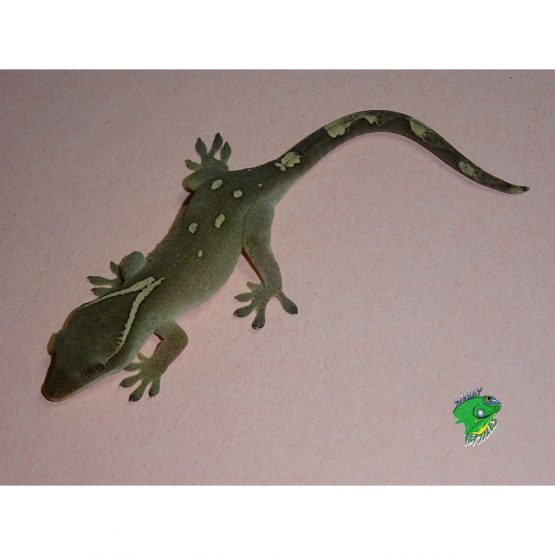 Sarasin's Giant Gecko – juvenile male ONLY