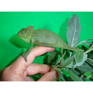 Veiled Chameleon – small unsexed