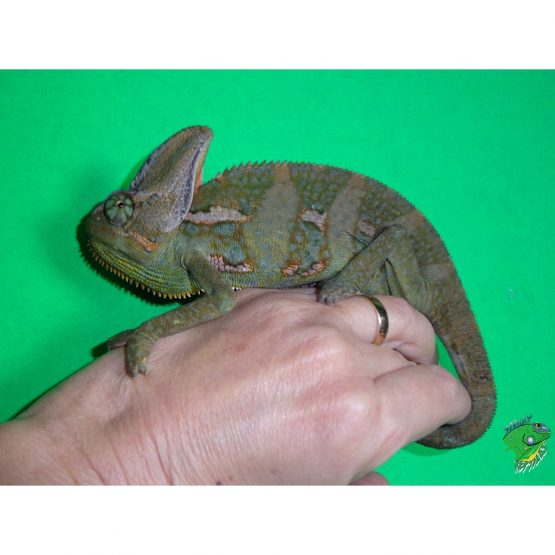 Veiled Chameleon – medium male