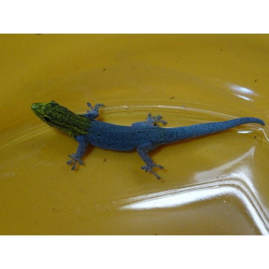 Central American Yellow Head Gecko – adult