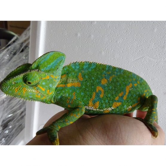 Veiled Chameleon – medium female