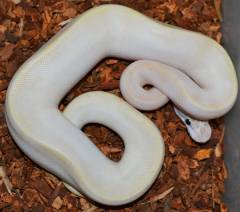 Baby Male Ivory Ball Pythons