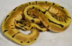 Baby Enchi Spider Ball Pythons