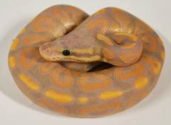 Baby Banana Cinnamon Ball Pythons