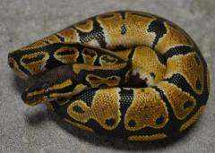 Baby Captive Bred Ball Pythons