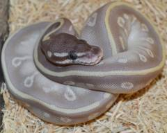 Baby Mystic Potion Ball Pythons