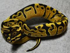 Baby Fire Ball Pythons