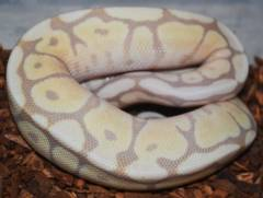 Baby Banana Spider Mojave Ball Pythons