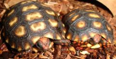 Baby Cherryhead Red Foot Tortoises