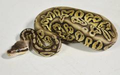 Baby Black Pewter Ball Pythons