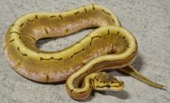 Baby Spinner Ball Pythons