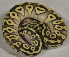 Baby Super Pastave Ball Pythons