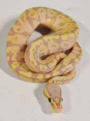 Baby Banana Pastel Ball Pythons