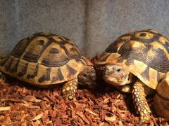 Sub Adult Eastern Hermanns Tortoises