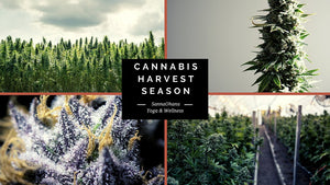 Cannabis Harvest Season