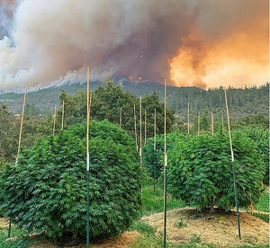West Coast Wildfires Will Result In Increased Cannabis Prices