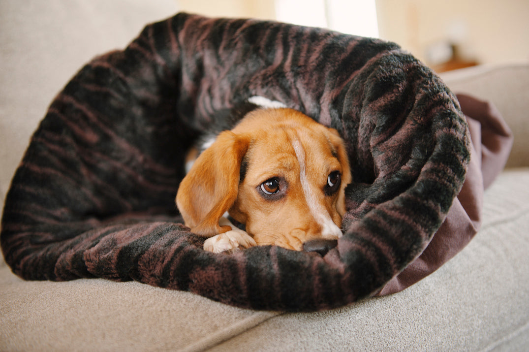 Beagle is hiding in P.L.A.Y. Snuggle bed
