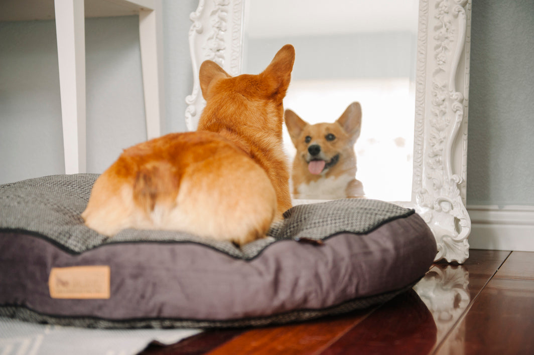 Corgi dog is looking in the mirror from P.L.A.Y. Rectangular Bed